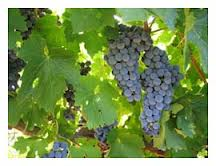Healthy ripe grapes
