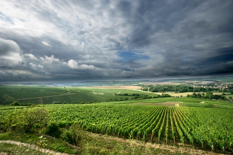 The Chablis region of Burgundy, France, during late summer.